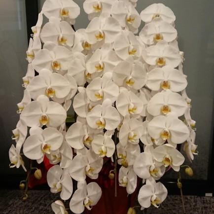淀川区 西中島へお祝いの胡蝶蘭